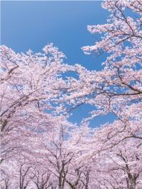 バックスクリーンシート桜7800円